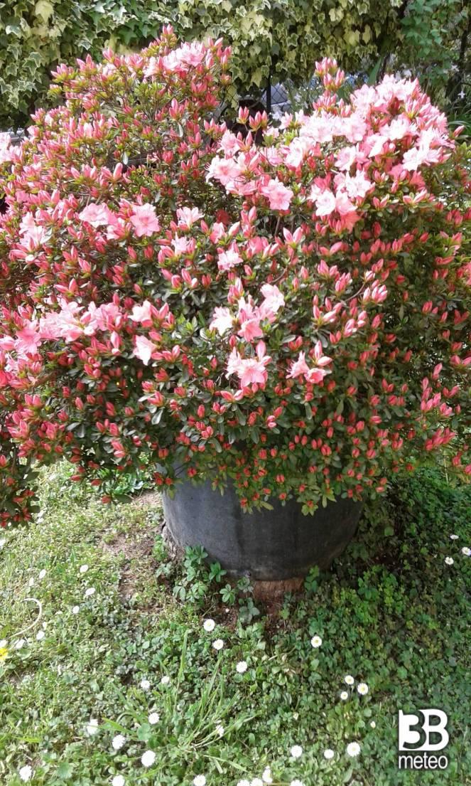 Immagini azalea immagini azalea azalea silvester azalea for Cura azalea