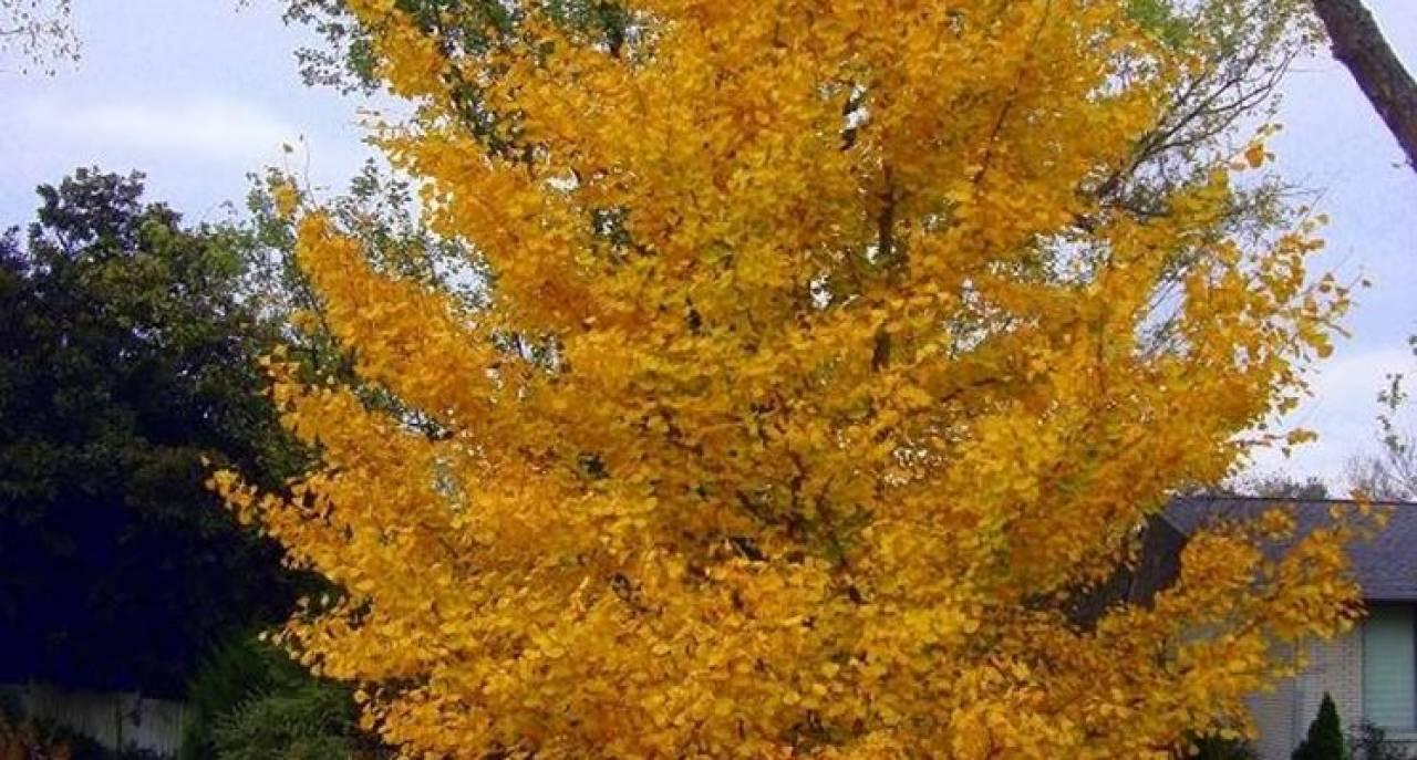 Perchè Acero Rosso Diventa Verde perché in autunno le foglie cambiano colore? « 3b meteo