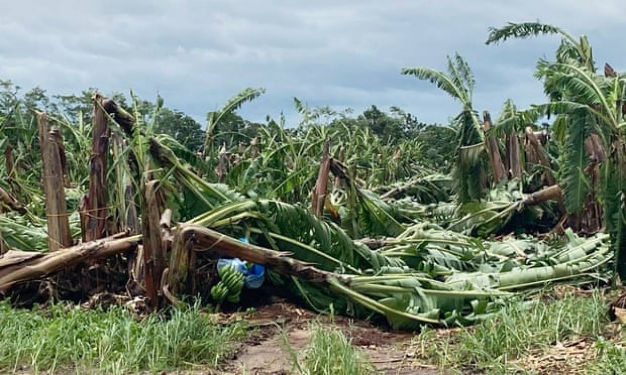 Ingenti danni nelle piantagioni di banane nel Queensland per il ciclone tropicale Niran (Fonte immagine: Australian Banana Growers Council)