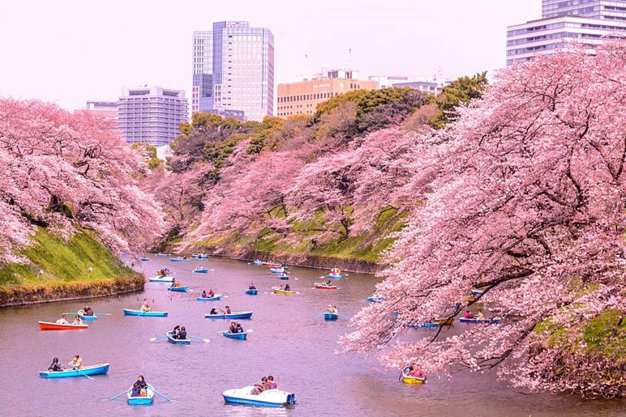 Tokyo: i ciliegi in fiore