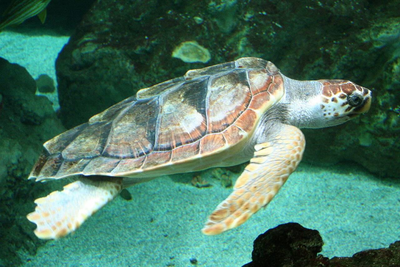 Un esemplare di tartaruga 'Caretta Caretta'
