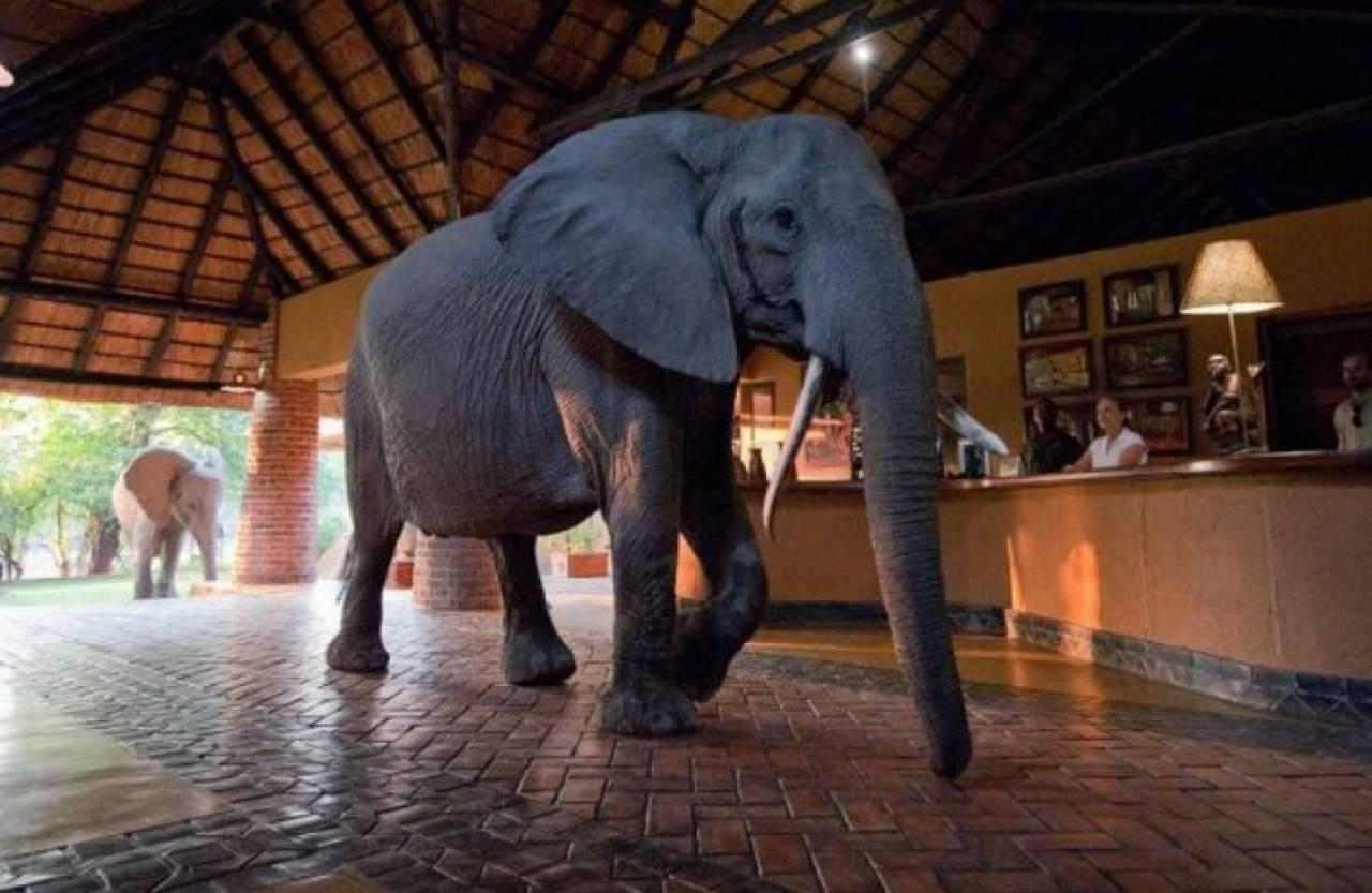 Zambia, un elefante alla reception di un albergo