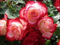 Maggio il mese della Rose