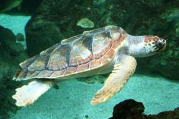 Un esemplare di tartaruga Caretta Caretta