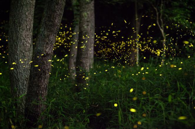 Arriva l'estate tornano le Lucciole a illuminare le notti dei boschi e dei campi di grano