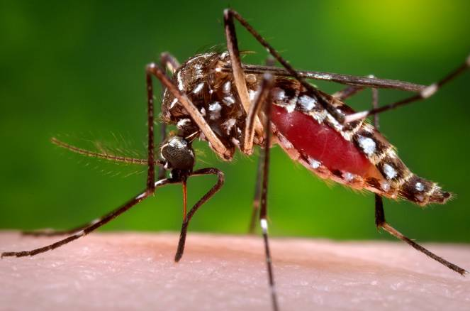 Chikungunya mosquito