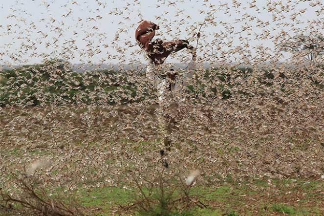 Drammatica invasione di locuste nel Corno d'Africa. E' la peggiore devastazione degli ultimi decenni. Fonte: FAO.