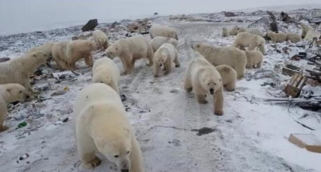 Gli orsi polari invadono una cittadina al Nord della Russia