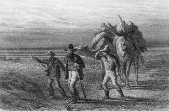 I dromedari furono introdotti dai coloni inglesi nel 1800
