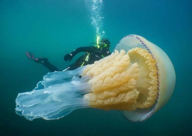 Incredibile incontro lungo la costa della Cornovaglia con una medusa gigante