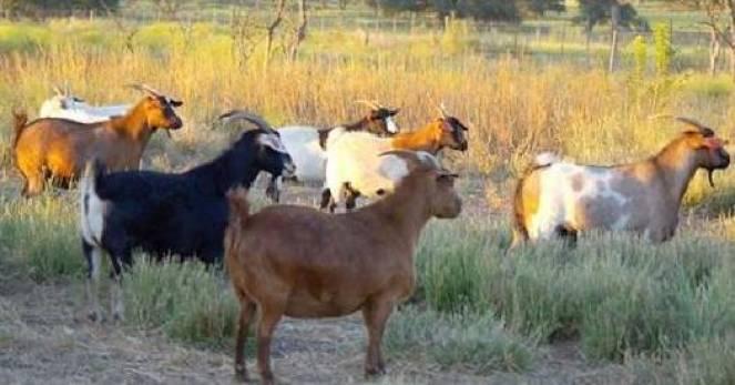 Le strane e fantastiche capre del Tennessee