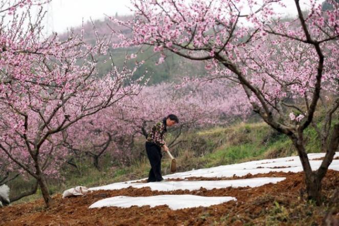 Piante Di Ciliegio Autofertili : Fiori di colza e ciliegio dalla cina i fantastici colori