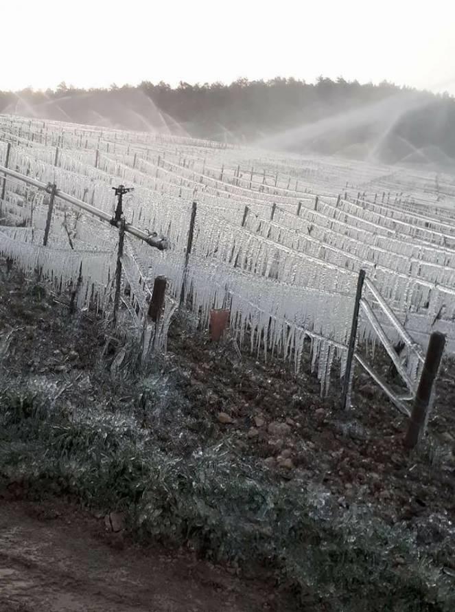 Vigneti in francia, il ghiaccio protegge da temperature troppo basse