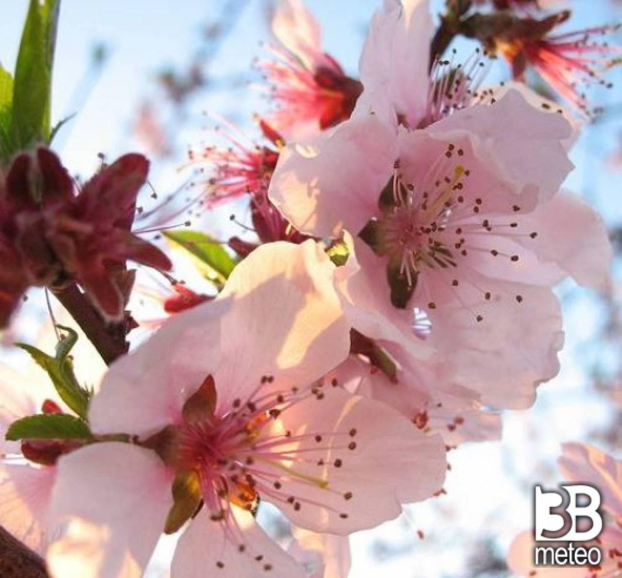 Fiori rosa fiori di pesco foto gallery 3b meteo for Immagini per desktop fiori