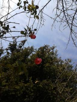 rose a natale