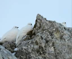 Pernici bianche