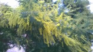 mimosa in fiore a gennaio