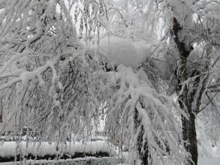Piante sommerse da 70 cm di neve giovedi 5 febbraio