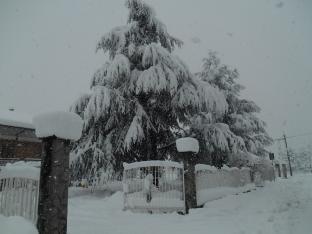 Pini stracarichi di neve presso le campagne di Borgo San Dalmazzo giovedi 5 febbraio 2015