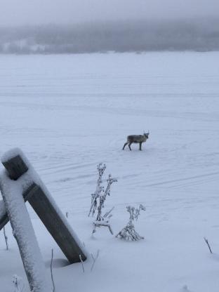 Renna su fiume di ghiaccio