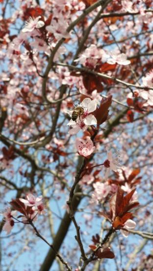 l'ape e il polline
