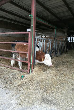 oggi passeggiata tra le mucche