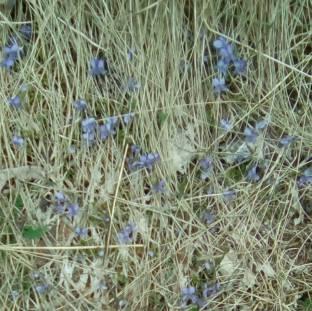 prime violette