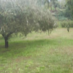 Il mio oliveto
