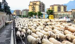 Invasione di pecore a lecco.