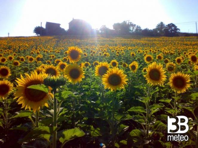 Matrimonio Girasoli Van Gogh : I girasoli di van gogh mark foto gallery « b meteo
