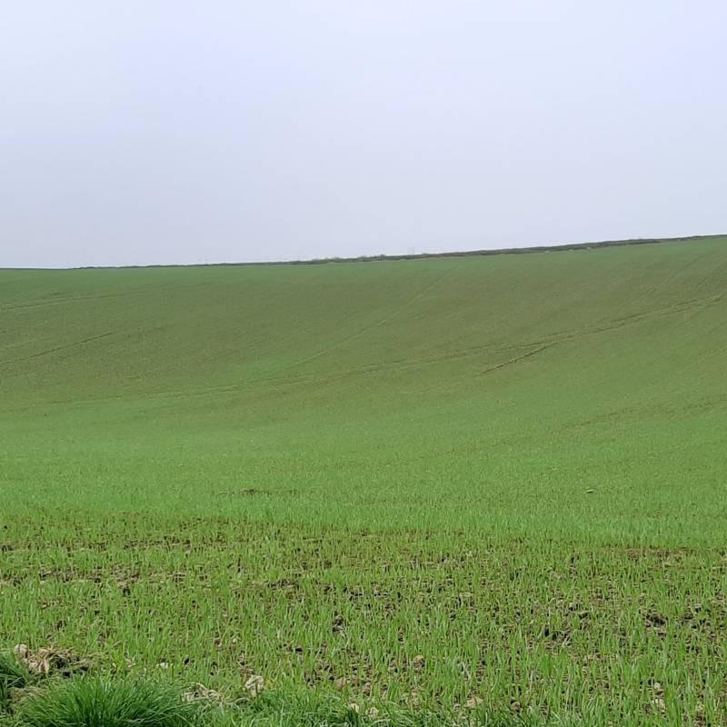 Campo di grano novembre